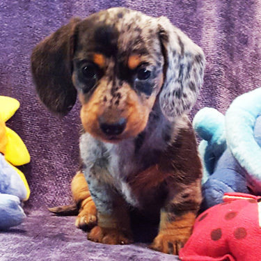 All About Minidoxies Miniature Dachshund Puppies Big Bad Doxies